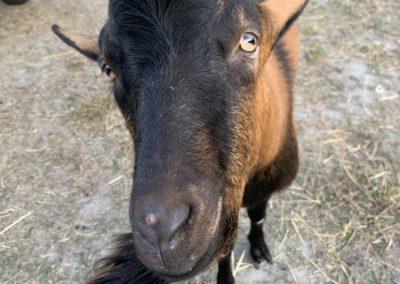Chèvre du refuge la bouche qui rit