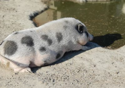 Cochon du refuge la bouche qui rit