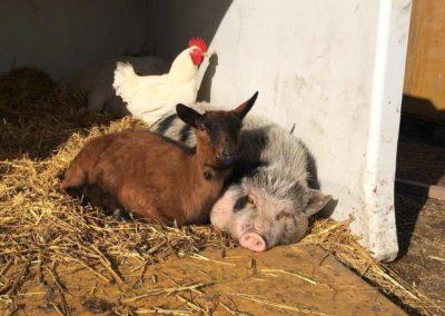 Coq,chèvre et cochon du refuge la bouche qui rit