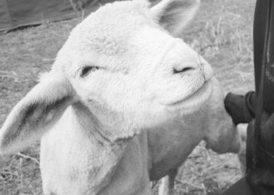 Mouton du refuge la bouche qui rit